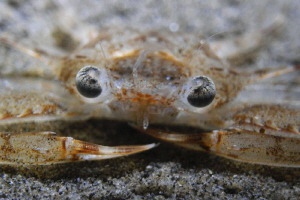 Crab portrait on night dive.